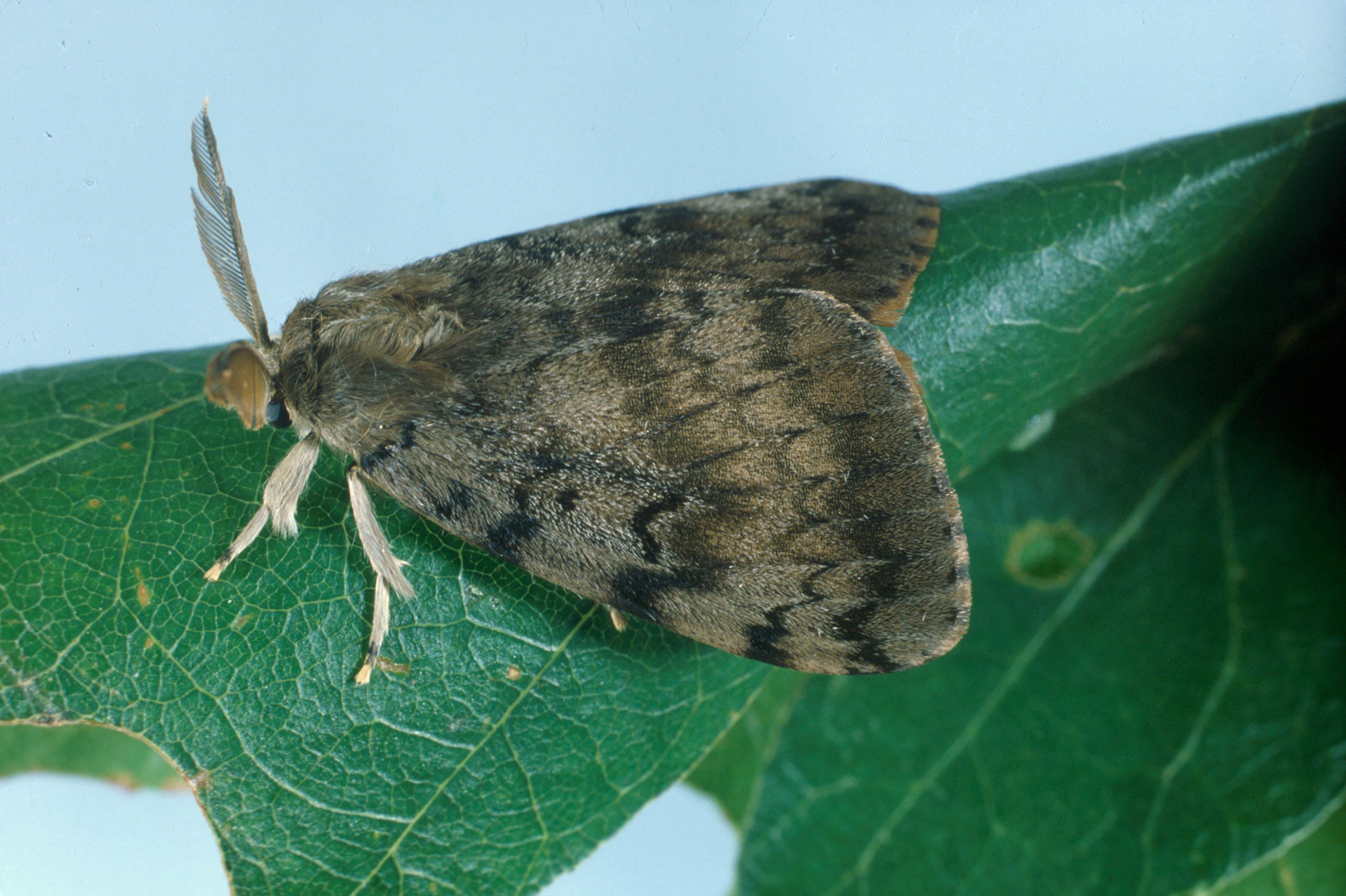 Zararlılar - Moths